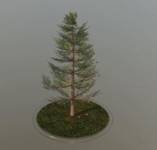 Pine Tree - 12 Meter